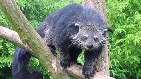 """世界上最""""奇特""""的动物,不仅有""""5条腿"""",就连尿都是爆米花味"""