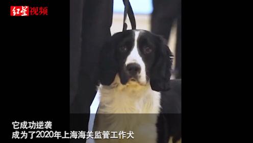 流浪史宾格逆袭考上公务犬 成为上海海关监管工作犬