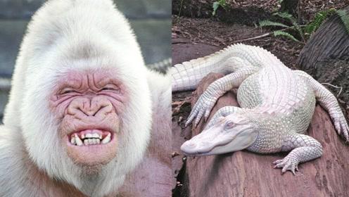 """动物界的""""白化病"""",猩猩鳄鱼不算什么,最后一个才经典!"""
