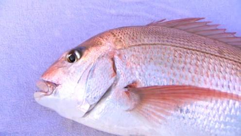 海钓大真鲷,野生纯天然的色彩就是美!