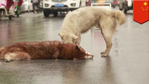 同伴被车撞死,狗狗在旁疯狂呼唤守护令人心碎,看完真是让人泪奔