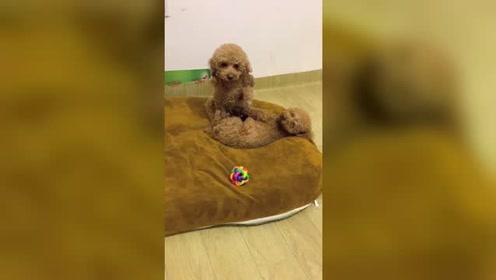 不要以为金毛会哄小狗,这只泰迪不简单,哄睡着了一只大狗