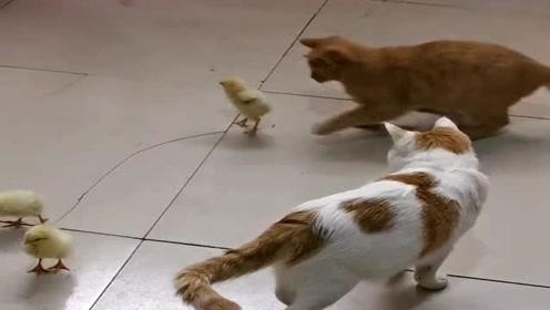 猫咪竟对小鸡做出这事,一旁花猫都看不下去了,太狠了