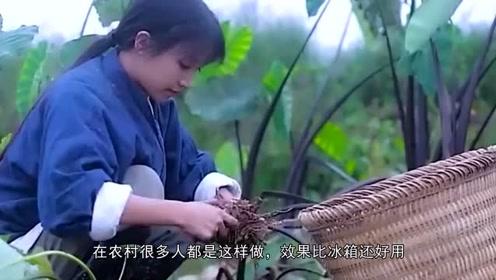 李子柒种的生姜丰收,多的吃不完,看到保存方法,网友:聪明,比冰箱还好用