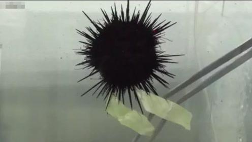 小黑煤球成精了?海胆用嘴吃卷心菜的样子太萌了
