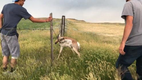 羚羊被带刺的铁丝困住,幸好被好心人发现,镜头记录全过程