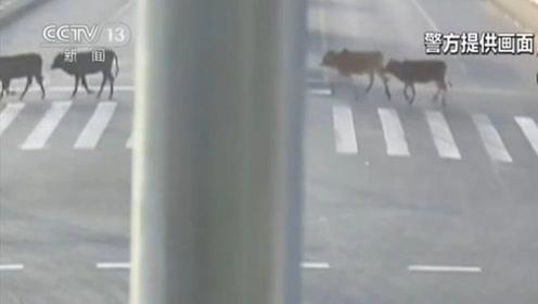 牛出没?!上海街头跑来四头牛 民警匆忙抓牛找失主