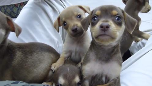 一群小狗子家里到处跑,铲屎官也管不住了,网友:这么多小可爱