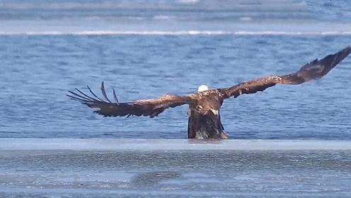 老鹰跳进水里,本来以为是在洗澡,下一秒意外发生了!