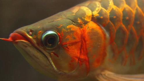 鱼友精养3年的极品金龙鱼,第一感觉真霸气,走近一看,我着迷了