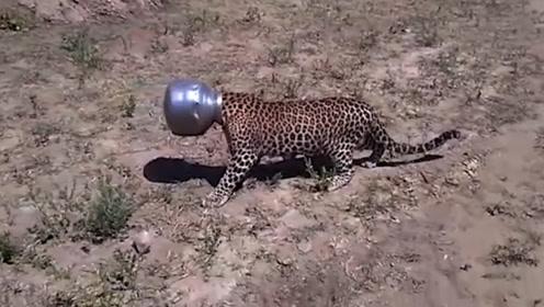这头豹子太惨了,头被水壶卡住了,被发现已经是几天之后了!
