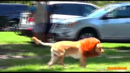 大狗戴上发套假扮狮子恶作剧