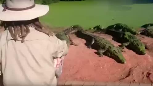 一只鳄鱼眼神不太好,把同伴的脚给撕扯下来了