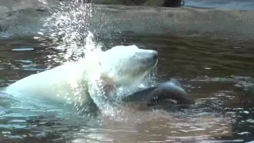 小北极熊弯腰从水里捞玩具,没想脚滑整只横摔在树干上