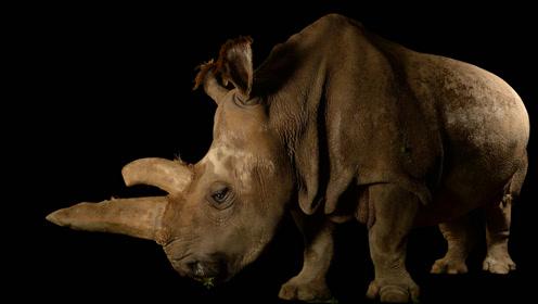 全世界仅存三只的北方白犀牛,它的角比黄金值钱