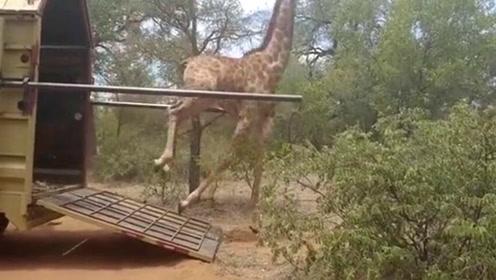 长颈鹿搬家太兴奋 一下车就失足亲吻大地