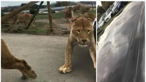 女子带娃游动物园遭群狮袭击 被困车内50分钟魂飞魄散