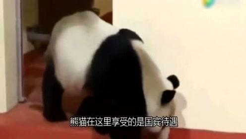 大熊猫在外国真的很受欢迎吗?英国网友的表现,让我彻底无语了!