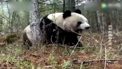 失去了圈养野生大熊猫为了地盘操碎了心!