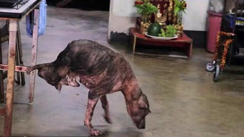 泰国流浪狗失去两条后腿 却连国王御赐的轮椅都不要