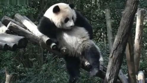 国宝哥搞笑蹭痒视频走红,熊猫:我不要面子的啊?