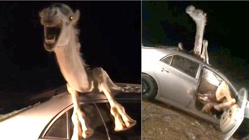 印度骆驼被撞进汽车卡住 满脸惊恐挣扎视频走红