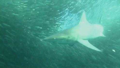 鲨鱼在沙丁鱼风暴中肆意捕食 场面震撼