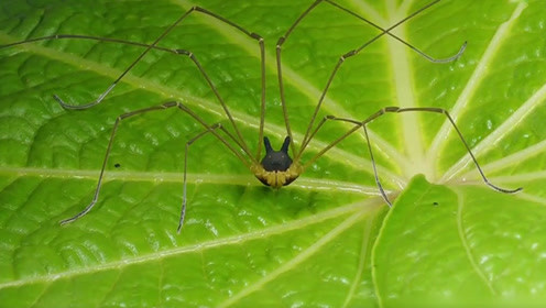 """摄影师发现怪异""""狗头""""蜘蛛 长着两只黄色""""眼睛"""""""