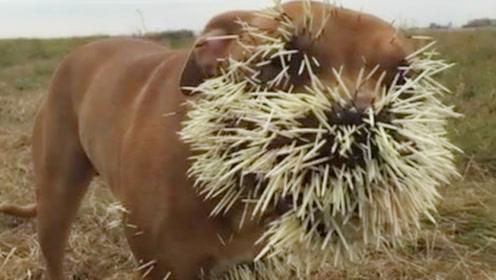 豪猪的刺,究竟有多厉害?平头哥也会犹豫