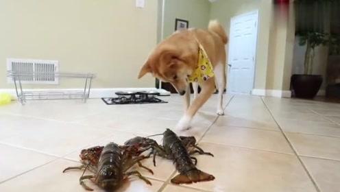 狗狗第一见到活龙虾,这表情也太逗了