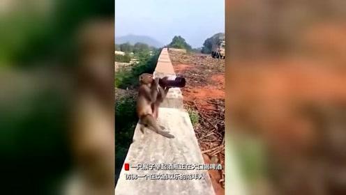 印度一猴子抢游客啤酒上墙独自畅饮