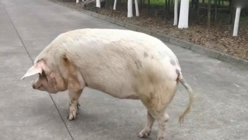 猪坚强年老体衰,虽然瘦弱乏力,虽然步履蹒跚,它仍然坚强地活着