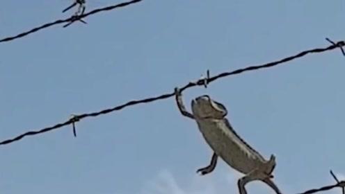 不要眨眼!实拍变色龙闪电般速度捕食蜻蜓过程