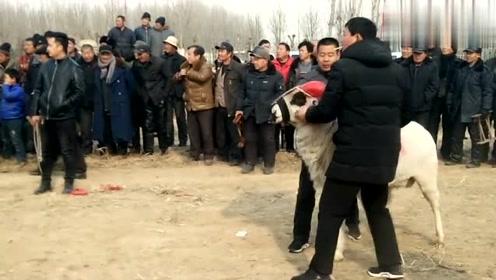 """范县城关镇斗羊:领羊的人使坏了,场面陷入""""混乱"""""""