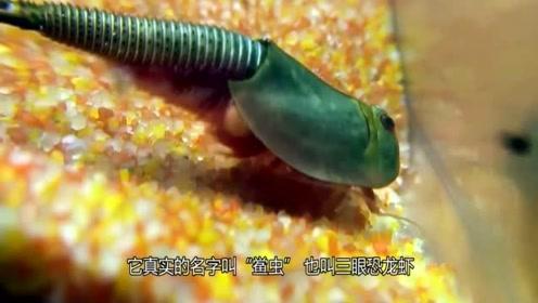 在地球活了2亿年的生物,中国人用来喂鸡,日本人却将它视为宝物!