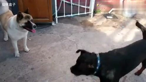 秋田犬太自不量力了吧,敢跳线罗威纳犬