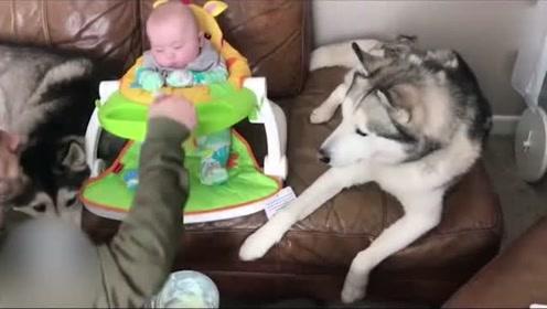 小哥在喂宝宝吃东西,二哈却想偷吃,被骂后太搞笑了