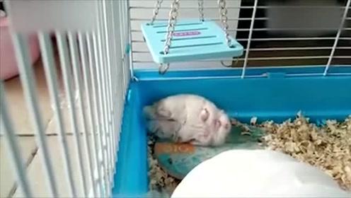 事实证明,仓鼠是会做梦的!睡觉都不安分