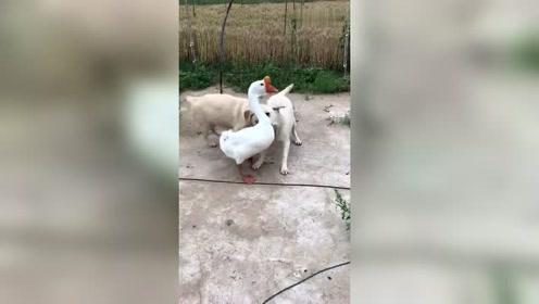 鹅狗恋情,狗子终于追到手了