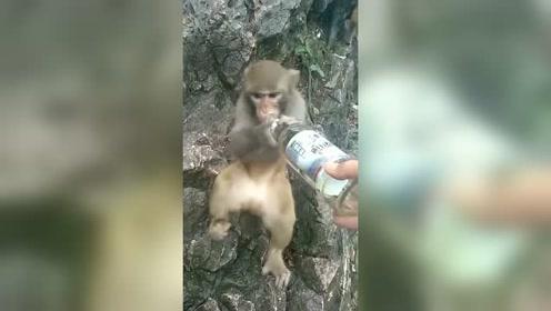 猴子第一次喝啤酒,没想到会是这个反应,看完别笑,网友:上瘾