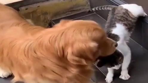 你们这是人和狗联合起来欺负猫咪,最后那回头,瞄的眼神