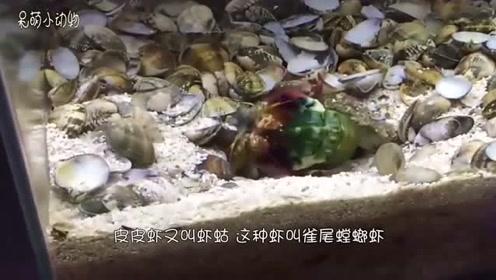 皮皮虾找到一个贝壳,双指一错劲,贝壳就打开了