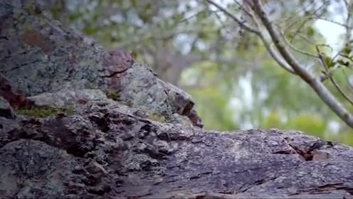 """自然传奇:生活在悬崖上的袋鼠,行动似""""飞檐走壁"""""""