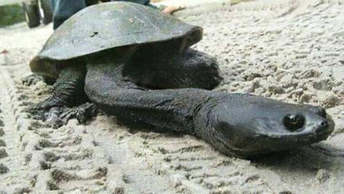 这乌龟脖子比身体还长 长50厘米缩不进龟壳!