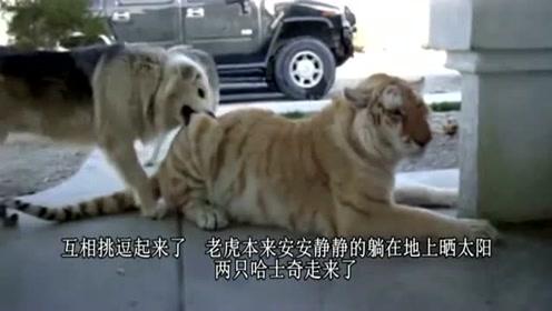 老虎和二哈生活在一起,被狗狗咬了也不敢吭声,网友:尊严去哪了