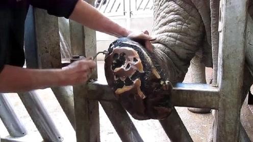 大叔给大象修脚月入十万,看到这操作,网友:看的头皮发麻!