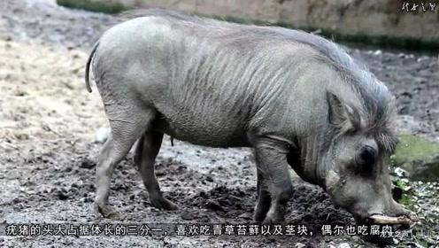 猪科动物之疣猪