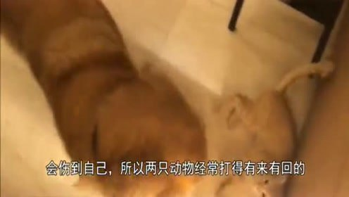 金毛和猫一起长大,平时打架却一起睡觉,镜头记录全过程