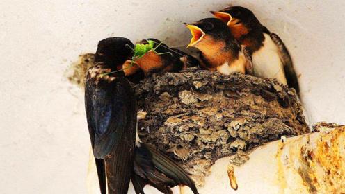 在中国没有吃燕子的习惯,为何燕子却越来越稀有?原因让我们惭愧