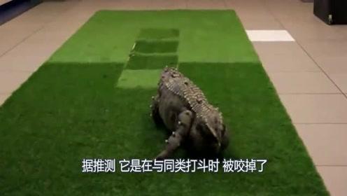 鳄鱼打斗被咬掉尾巴找人类求救,专家给它打印尾巴?